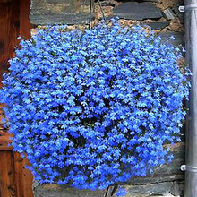 Hanging flower / balcony flower / flower blue flower seed flax seed sowing spring and autumn seasons Pan American species(China (Mainland))