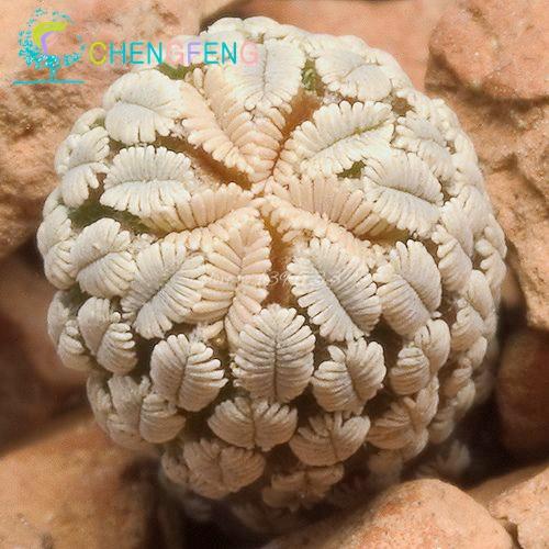 Fairy Succulents Seeds 50pcs/set Prevent Radiation fleshy seeds,Imported cactus hybrid bonsai seeds Succulent plant(China (Mainland))