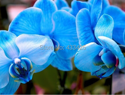 Bonsai balcony flower butterfly orchid seeds skyblue 10 seeds pack