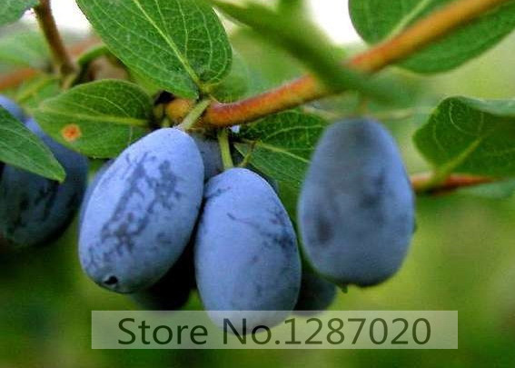 200pcs 100% Genuine Fresh Rare Lonicera caerulea Fruit Seeds chinese blueberry delicious fruit seeds for home garden planting(China (Mainland))