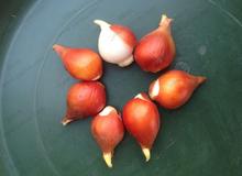 Tulip bulbs 5 pcs black white blue red rainbow purple pink tulip bulbs seeds this is