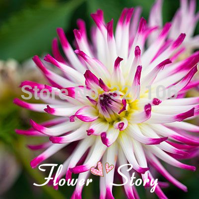100 Cactus Dahlia Tanjoh Seeds, DIY Home Garden Flower ,Perfect cut flower, Free Shipping(China (Mainland))