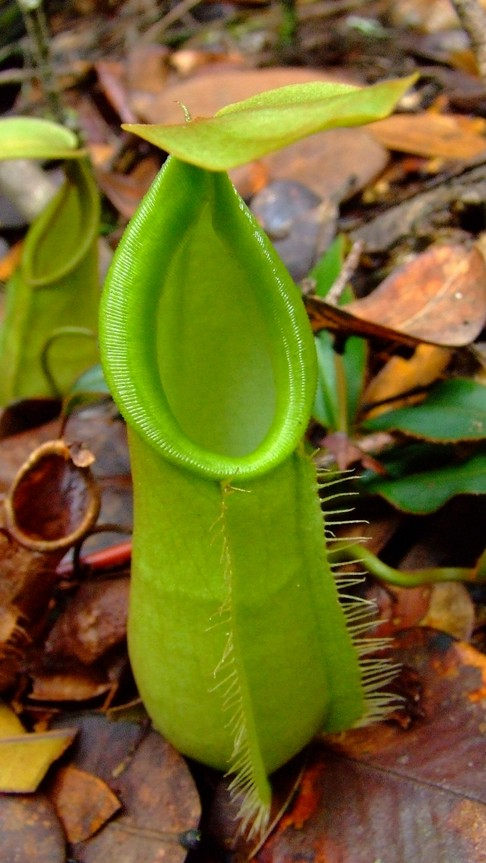 product Carnivorous plants &mdash (All Green); Kuching nepenthes