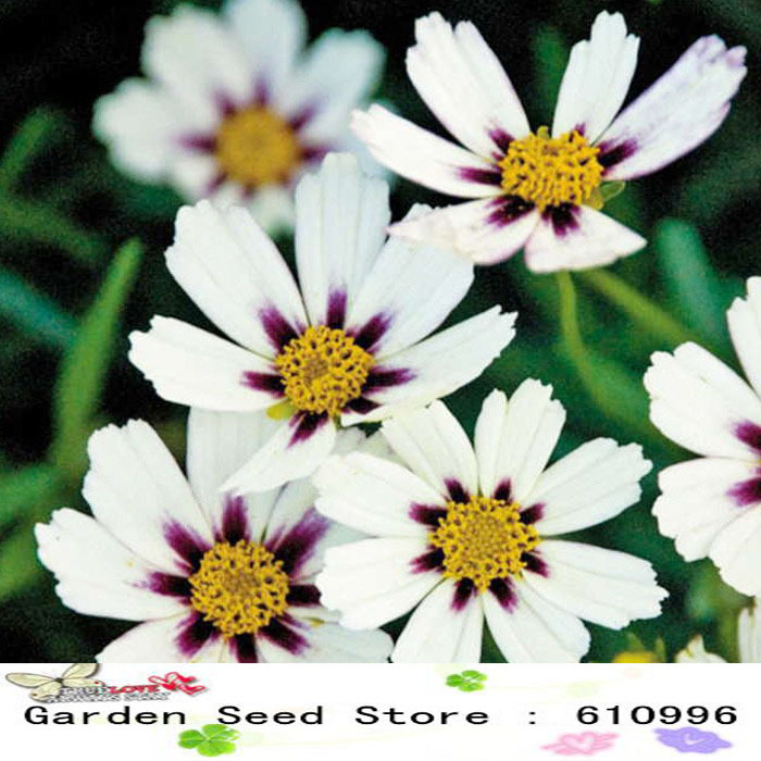 Heirloom Star Cluster Perennial White Purple Coreopsis Flower Seeds, Professional Pack, 20 Seeds / Pack, Mound-shaped Flowers(China (Mainland))