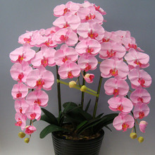 Indoor Balcony Office Rare Orchid Seeds Phalaenopsis Orchid Bonsai Pot home garden plants Flowers seeds 200PCS(China (Mainland))
