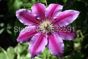Beautiful exotic flowers, seeds clematis, Clematis seeds, Clematis - 200(China (Mainland))