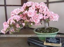 10PCS rare sakura seeds bonsai flower Cherry Blossoms Tree cherry blossom seeds Bonsai plants for home & garden(China (Mainland))