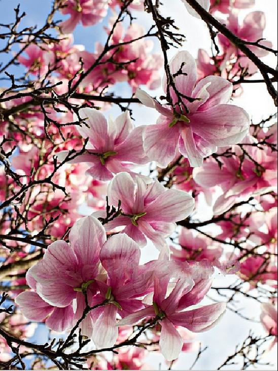Promoci n de magnolia de siembra compra magnolia de - Semilla de magnolia ...