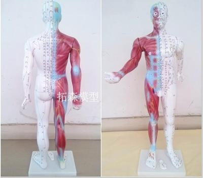 human Body acupuncture points Acupuncture Model Muscle anatomy 85cm free shipping(China (Mainland))