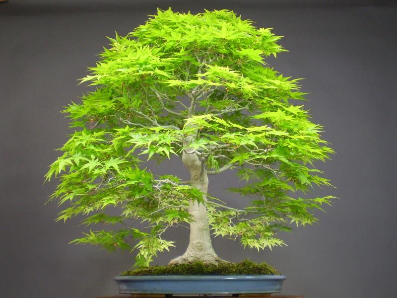 online get cheap indoor bonsai tree. Black Bedroom Furniture Sets. Home Design Ideas