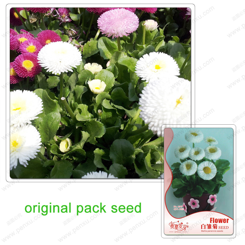 Original Pack 60 Seeds / Pack,Bellis perennis seeds,White Daisies Flower,Potted plant balcony,Daisy flower seeds(China (Mainland))
