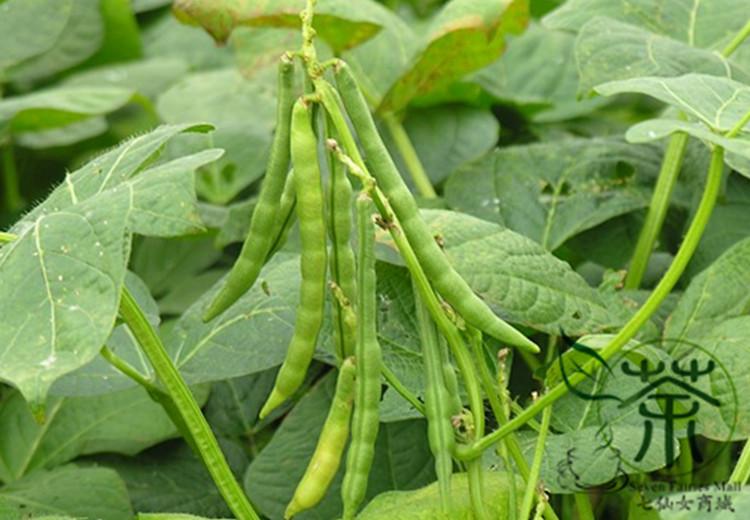 Adzuki bean plant