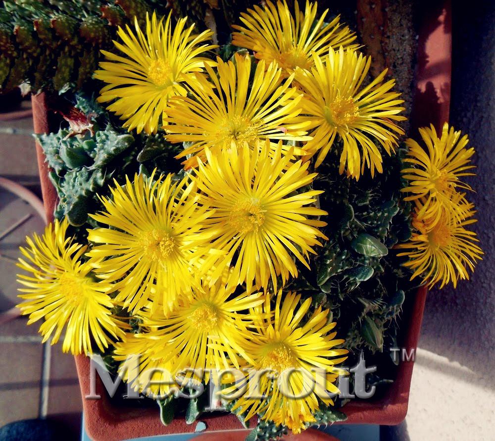 Variedades de cactos no interior popular buscando e for Cactus variedades