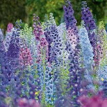 GIANT DELPHINIUM MAGIC FOUNTAINS MIX FLOWER SEEDS MIX / PERENNIAL