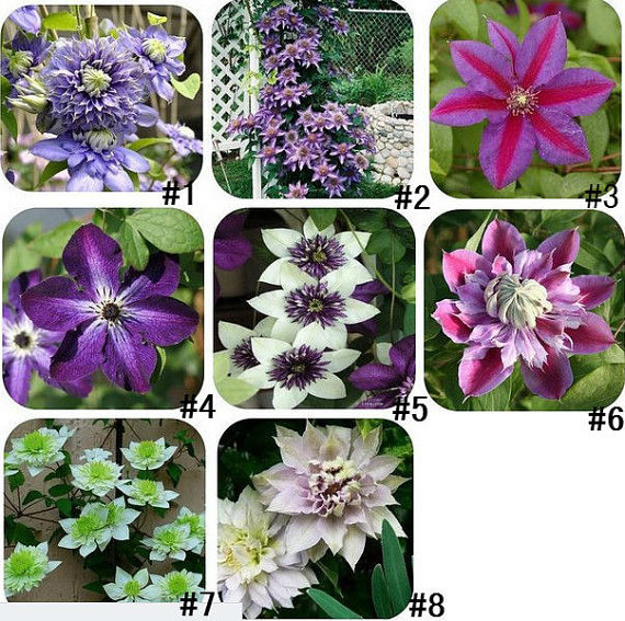 200 pcs/bag,clematis seeds,clematis plant seeds,clematis send you mixed colors total 200 for home garden(China (Mainland))