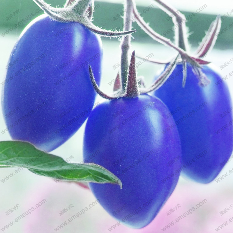 A Pack 100 PCS Blue Cherry Tomato Seeds Balcony Bonsai Potted Home Tomato Plant Seeds Healthy