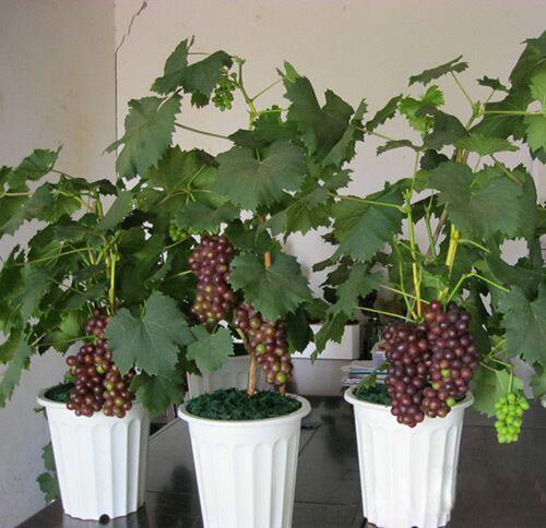 Cara Agar Tanaman Anggur Berbuah Banyak Di Tabulampot