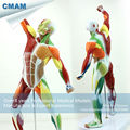 CMAM MUSCLE14 Human Muscle and Skeleton Anatomy Model Learing Education 55cm Tall