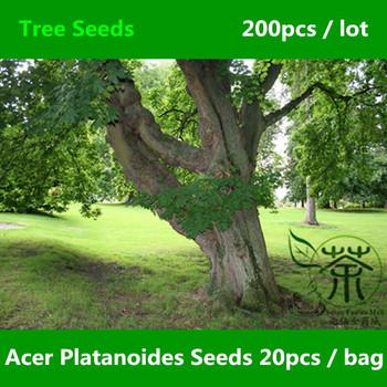 Familia sapindaceae acer platanoides semillas 200 unids for Lista de arboles de hoja caduca