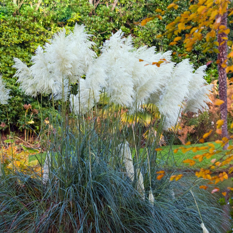 New rare impressive white pampas grass seed patio garden for Ornamental grass with yellow flowers