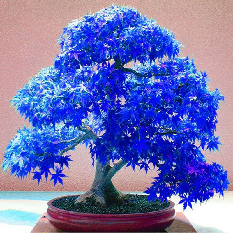Real Japanese Ghost Blue Maple Seeds Rare Balcony Bonsai Tree plants for home garden 20 seeds/pack Free Shipping(China (Mainland))