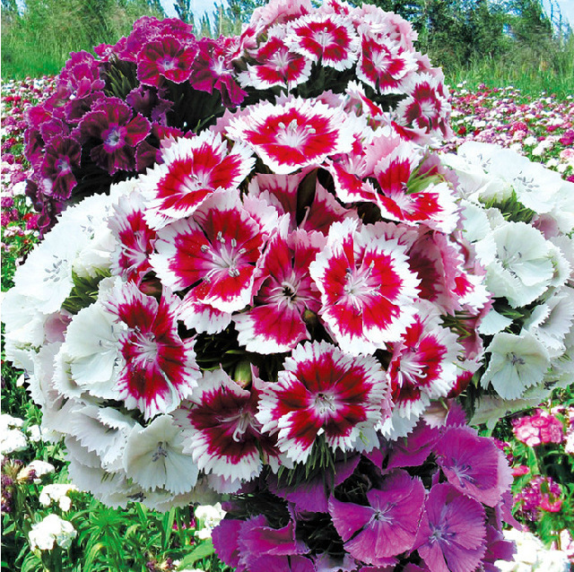 80pcs/bag hot selling colorful Carnation Flower Seeds for DIY home garden Free shipping(China (Mainland))