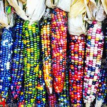 20 сладкий радуга семян кукурузы, красочные овощных семян кукурузы на зерно, крупы, 95% + всхожесть, высокое качество Овощей для дома и сада(China (Mainland))