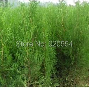 Siberian Carpet Cypress Microbiota Decussata