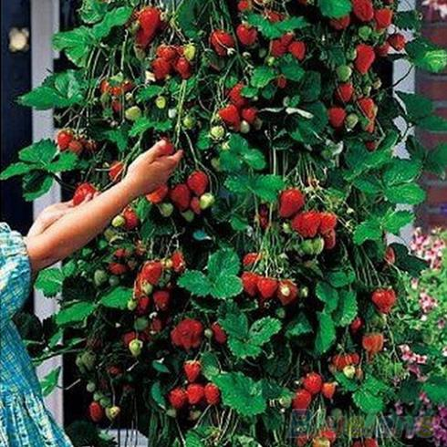 50Pcs Red Strawberry Climbing Strawberry Four Season Fruits Seeds 1VXD