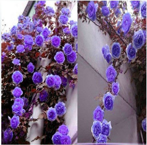 100 SEEDS PURPLE CLIMBING ROSES * MORDEN CVS. OF CHLIMBERS AND RAMBLERS * HEIRLOOM * HIGH SURVIVAL * CHINA ROSE * FREE SHIPPING(China (Mainland))