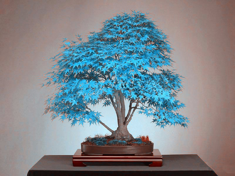 20 bonsai blue maple tree seeds Bonsai tree seeds. rare sky blue japanese maple seeds Balcony plants for home garden(China (Mainland))