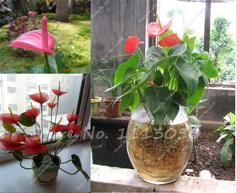 120 Pcs Rare Flower Seeds Anthurium Andraeanu Seeds Balcony Potted Plant Anthurium Flower Seeds for DIY Home Garden Decoration(China (Mainland))