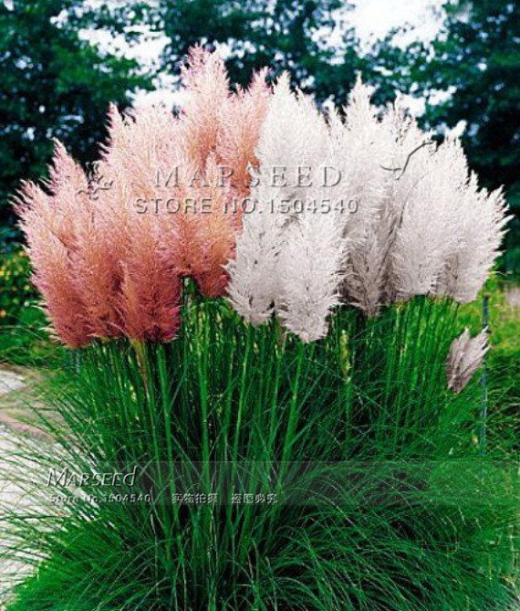 Buy hot 4 colors ornamental grass seeds for Easy to grow ornamental grasses