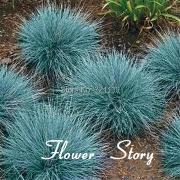 400 blue fescue grass seeds festuca glauca perennial for Hardy perennial ornamental grasses