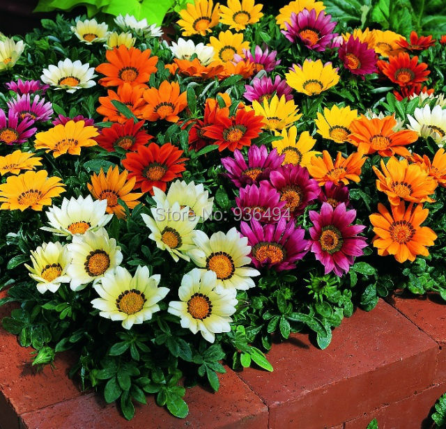 Free shipping, 200PCS bonsai flower seeds, beautiful courtyard essential colorful flower seeds(China (Mainland))