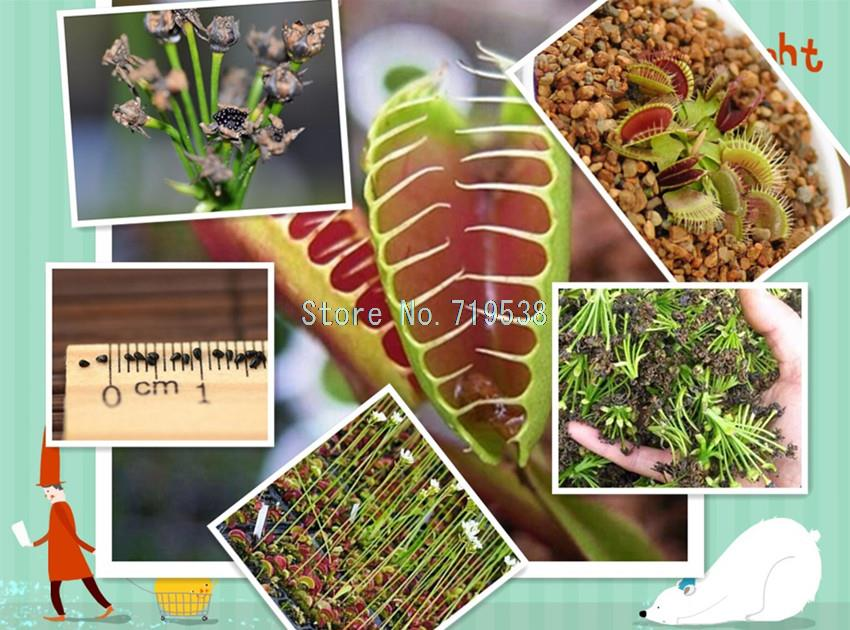 Potted Insectivorous Plant Seeds Dionaea Muscipula Giant Clip Venus Flytrap Seeds 30 seeds(China (Mainland))