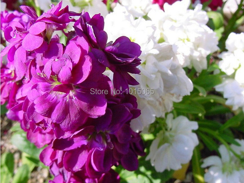 (Mixed red white blue pink) violet seed , fragrant violet, violet germination rate - 50 Seed particles(China (Mainland))
