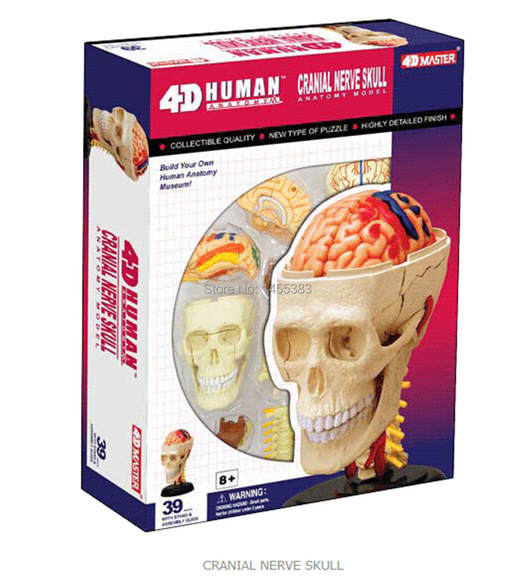 Medical use 4D Human Anatomy,4D Mannequin,4D anatomical Model of Cranial Nerve Skull Anatomy modle Consists Of 39 PARTS(China (Mainland))