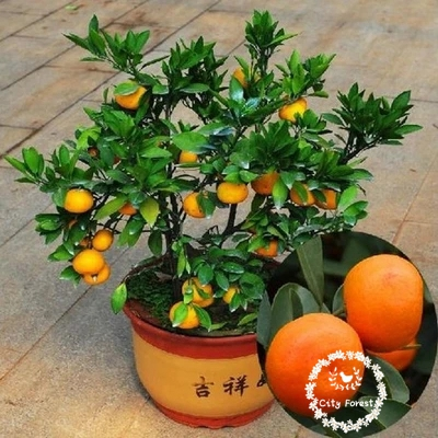 Heirloom Orange Bonsai Seeds Tree Indoor Plant DIY Home So-Easy Container Gardens(China (Mainland))