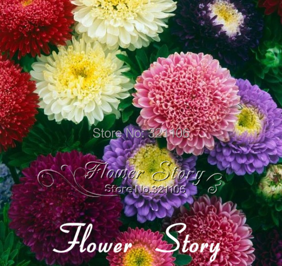 30 Seeds Chinese Aster Seeds Callistephus give you a garden full of bright summer big flowers