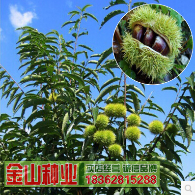 50g seed,free shipping,tree.fruit seed.Wholesale Health raw chestnut seed grafted chestnut seedlings Dahongpao tree seeds(China (Mainland))