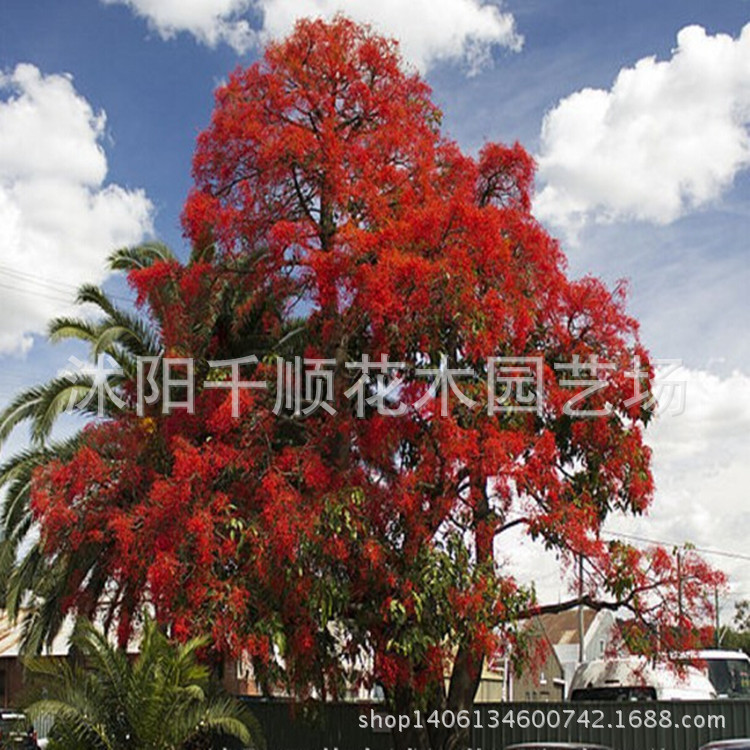 For high net imports of seed flame wood fire flame wood tree seeds Australia provide technical to pay 200g/lot(China (Mainland))