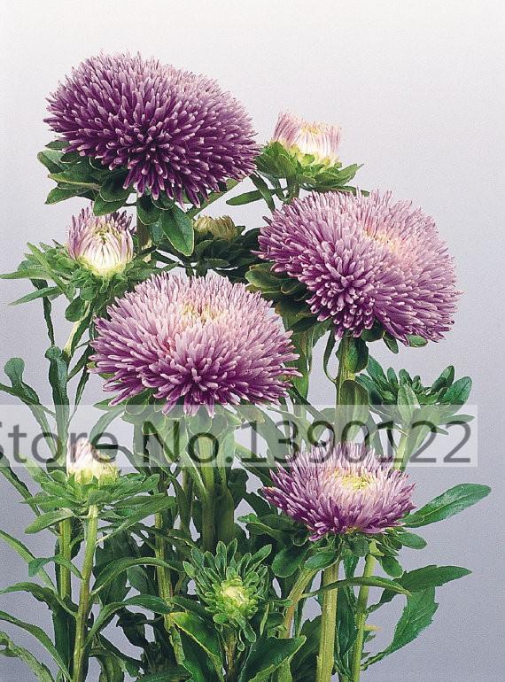 100 bag rare flower aster seeds CALLISTEPHUS CHINENSIS stunning mixed color flower seeds for home garden