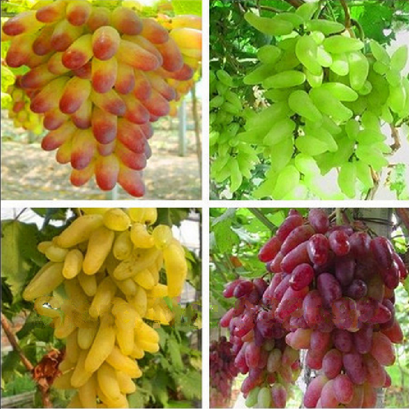 , Senior Courtyard Plants Delicious Fruit Gold Finger Grape Seeds 4 Kinds 80 Seeds, Package 2 - ALI-Express No.1 store