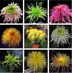 100 pcs / bag, Chrysanthemum seeds, DIY potted plants, indoor / outdoor pot seed germination rate of 95% mixed colors(China (Mainland))