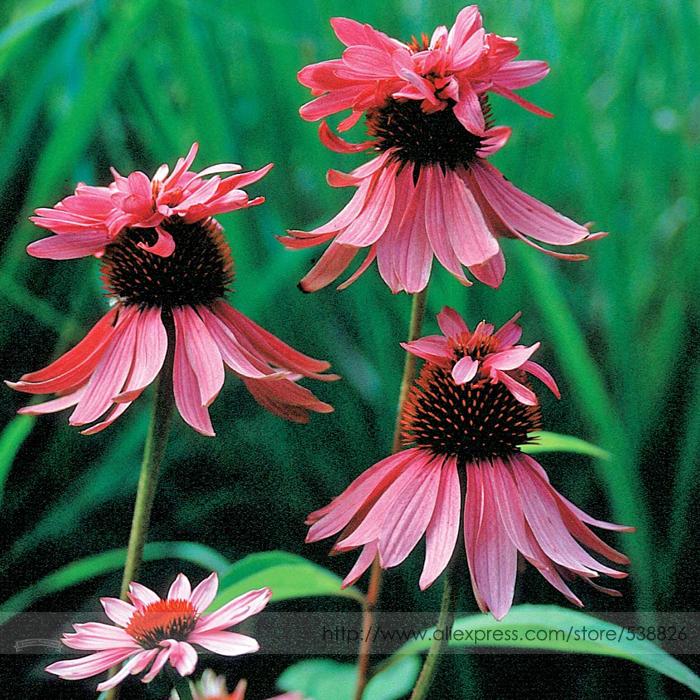 Aliexpress Com Buy Rare Echinacea Purpurea Double
