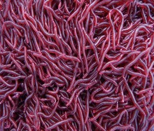 50Pcs 3.5cm Simulation Earthworm Worms Artificial Fishing Lure Tackle Soft Bait Lifelike Fishy Smell Lures Red(China (Mainland))