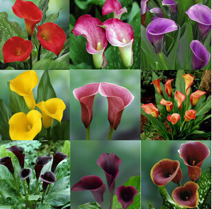 2015 New.100pcs Calla Lily seed,common callalily,planting seasons, flowering plants flower seeds+Free Rose Gift(China (Mainland))