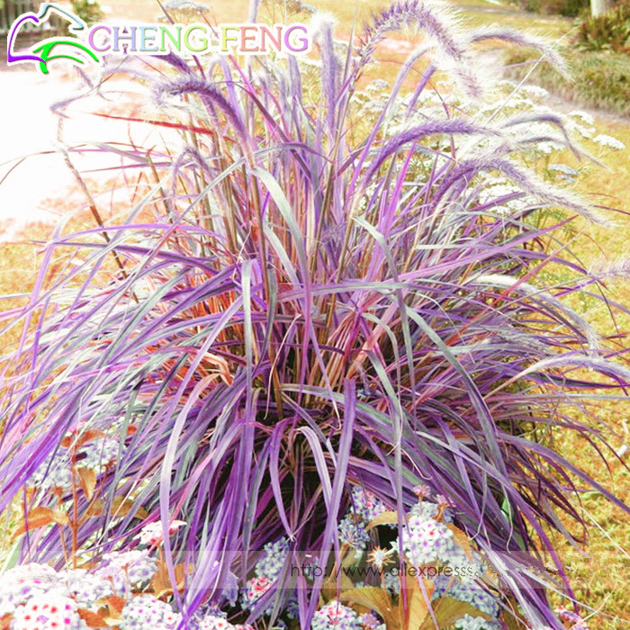 Half hardy perennial fountain grass pennisetum setaceum for Hardy fountain grass