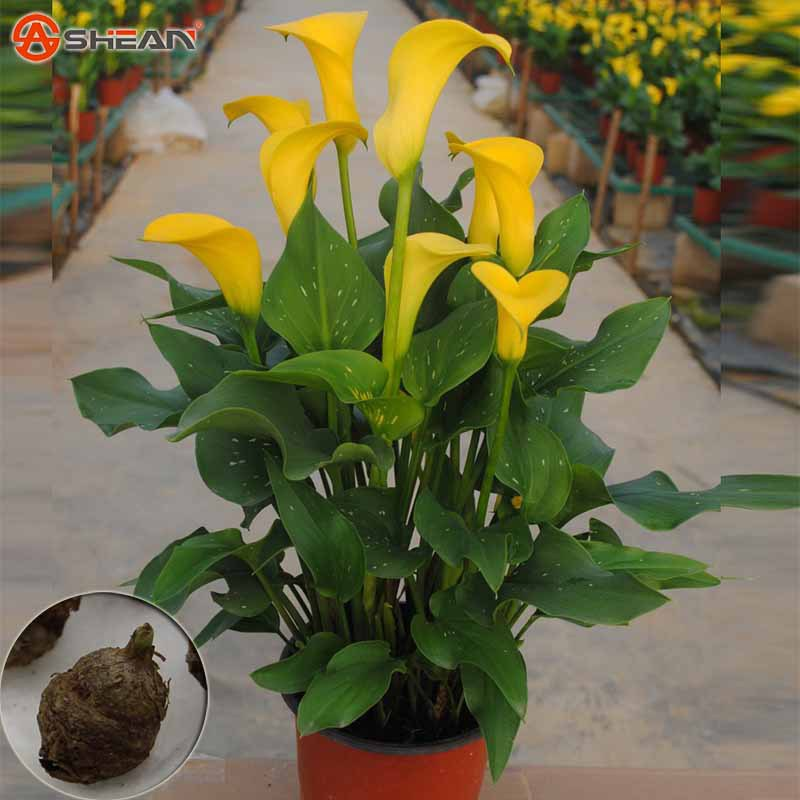 Calla Lily Bulbs,Rhizomes High Survival Rate of Potted Flowers,Calla Lily Flower Roots (it is not seed) - 10 pcs(China (Mainland))